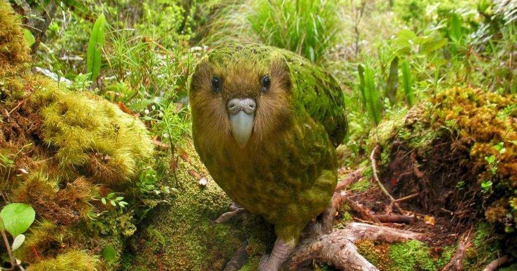 Kakapo-Shane-McInnes