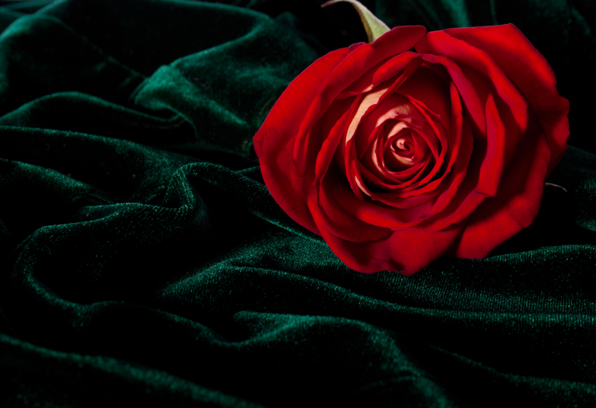 Gorgeous rosebud on the dark green velor
