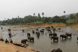 Olifanten in de rivier