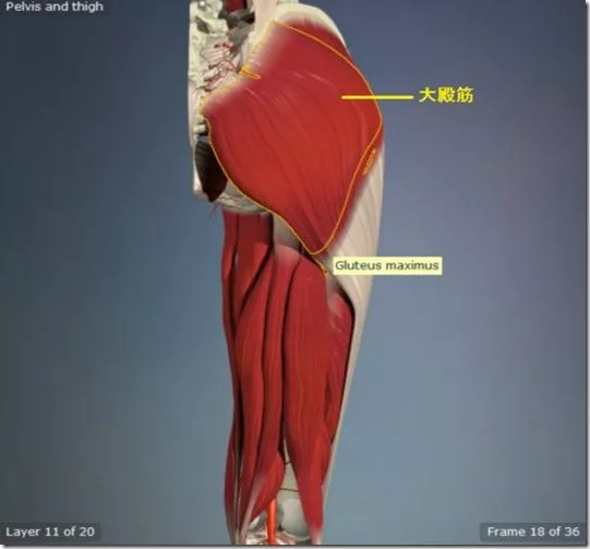 股関節痛み原因治療 大殿筋5