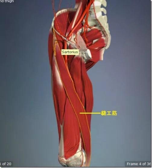 股関節痛み原因治療 縫工筋5