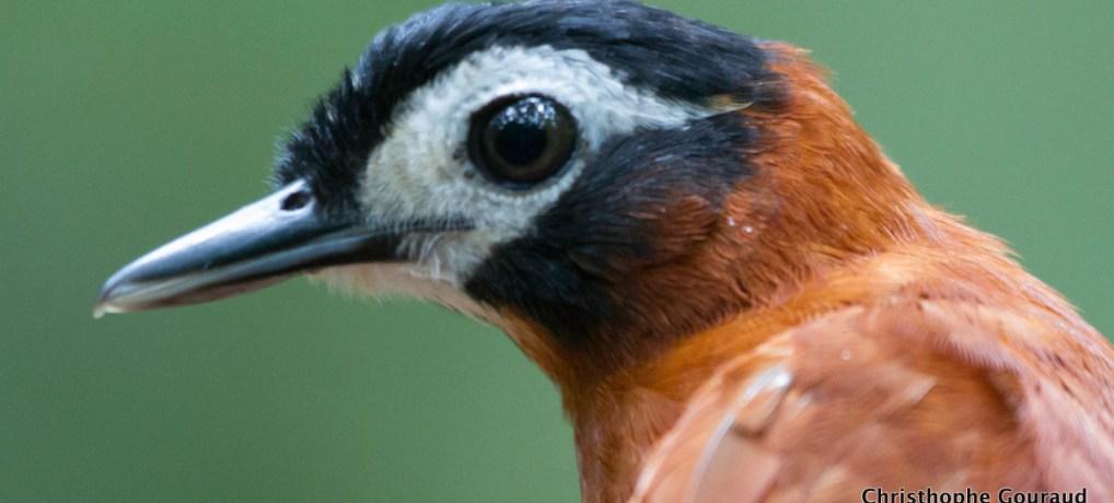 White-Masked Antbird. Birding in the Peruvian Amazon