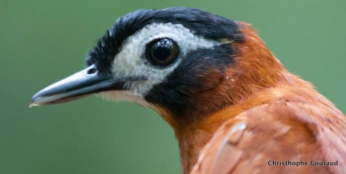 White-masked-Antbird-Pithys-castaneus-Christophe-Gouraud