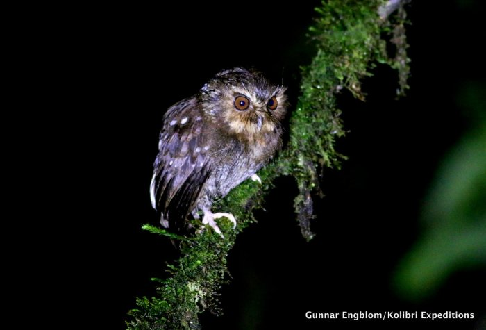 Long-whiskered Owlet at Fundo Alta NIeva in January