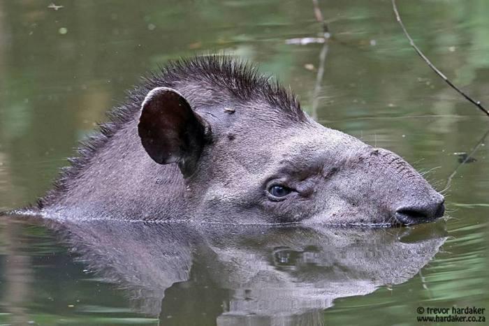Tapir. At Amazonia Lodge. Photo: Trevor Hardaker