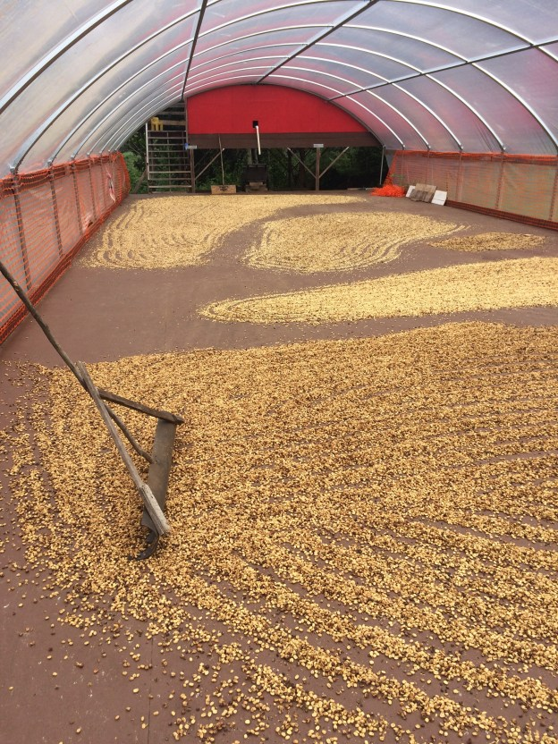 Coffee drying with the processing
