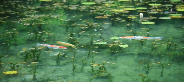 モネの池 名もなき池 岐阜県関市 根道神社 睡蓮 錦鯉