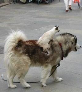 Katze reitet Hund
