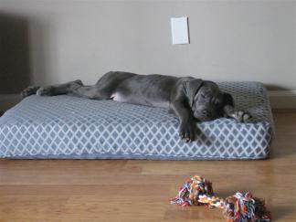 great dane puppy sleeping