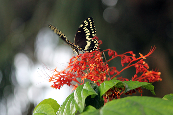Palamedes Swallowtail