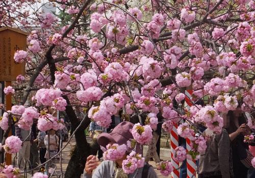 造幣局 桜の通り抜け