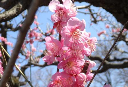 大阪城公園 梅 画像