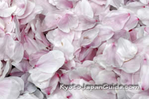 Fallen sakura blossoms