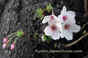 Sakura blossoms in full bloom 001