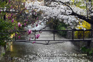 Spring flowers on canal in Kyoto