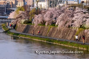 Spring sakura along the Kamo River