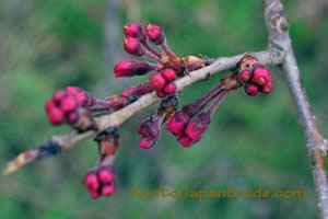 Just Pink Buds 037