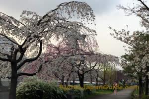 Riverside Evening Sakura 035