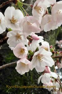Sakura and Mossy tree 017