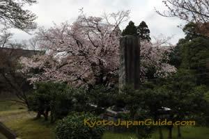 Sakura on Temple Grounds 021