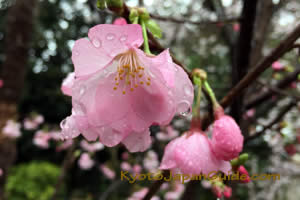 Water Droplets on Pink Blossoms 043
