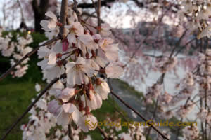 Weeping Blossoms at Sunset 033
