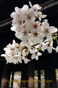 Cherry blossoms and Nanzen-ji Sanmon doors 029