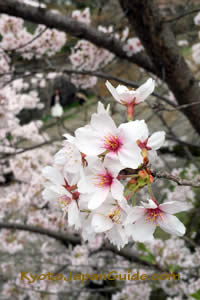 Cherry blossoms close up 025