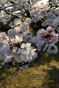Cherry blossoms over lawn 023