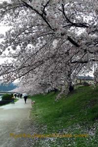 Kamogawa River sakura 015