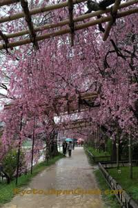 Nakaragi Path weeping sakura 021