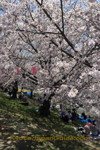 Party under the cherry trees 013