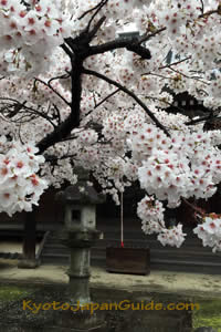 Sakura and stone lantern at Shinnyo-do temple 043
