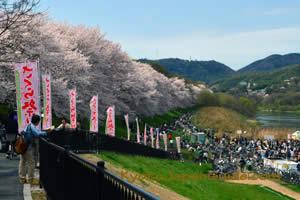 Sakura at Sewari-tei Park 003