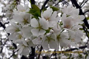 Sakura with green leaves 021