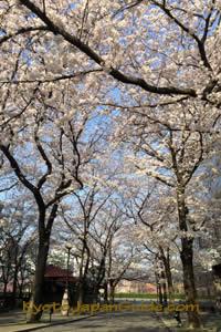 Tatsumi street sakura near peak 001