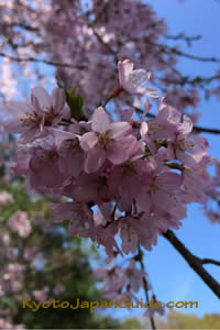 Weeping cherry blossoms and blue sky 093