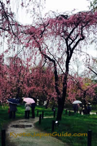 Weeping sakura in the rain 041