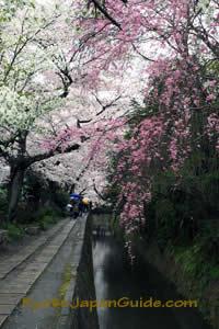 Weeping sakura on Philosophers Path 068