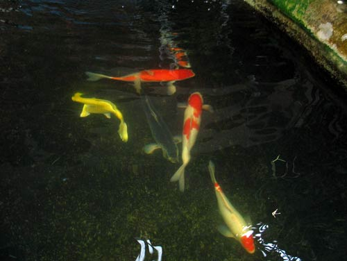 Koi Pond with new fish