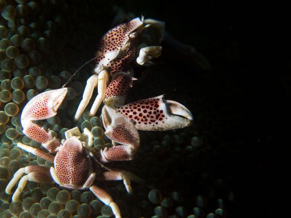 porcelain crabs on coral, Basura
