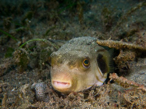 pufferfish, Basura