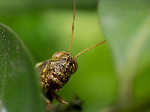 grasshopper at KL butterfly farm