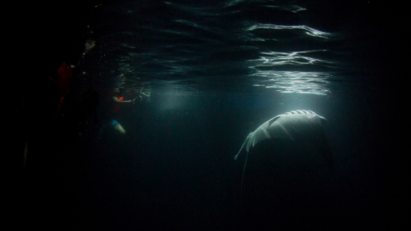 manta visited us again on the 3rd night, majestic creature