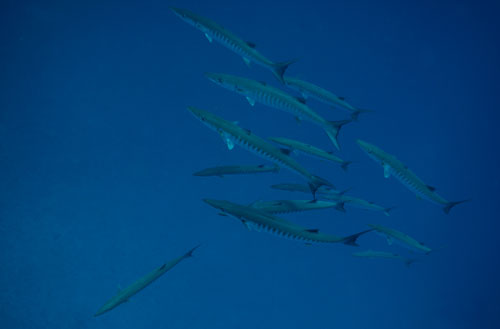 chevron barracudas, Richelieu Rock