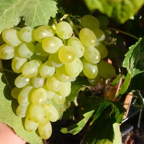 Fresh-table-grapes-web-1-5d29cb0f7aa05ccd4a19af90cdaf5a53550d7d1b