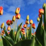 tulipes