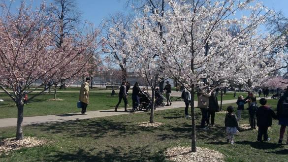 Fleurs de cerisiers à Trinity-Bellwoods Park.