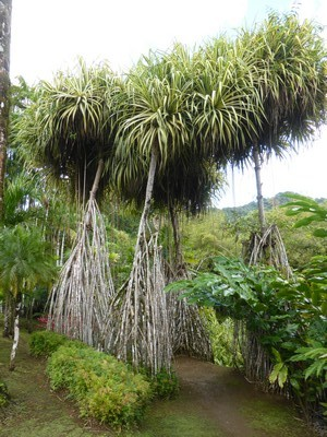 Pandanus sanderi (feuilles bicolores) avec ses immenses racines-échasses