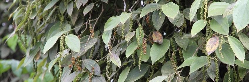 poivre-penja-cameroun